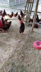 Red brown RIR Chicken, High, Average 1.5-2.0kg