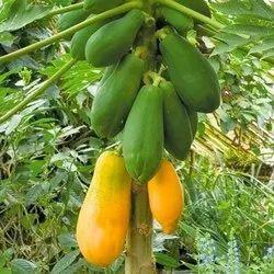 Fresh Papaya Fruit