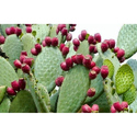Prickly Pear Herbal Extract