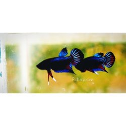 Wild Betta Mahachai Hybrid  (Fishsquare)