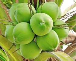 Green DeeJay Hybrid Tender Coconut for Fruits