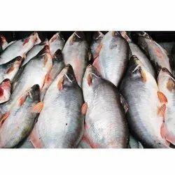 Pangas Fish
