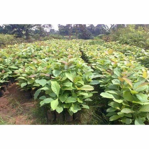 Teakwood Plant
