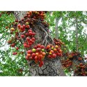 Ficus Racemosa Tree