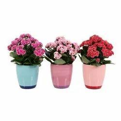 Full Sun Exposure Kalanchoe Flower Plant, Packaging Type: Plastic Bag