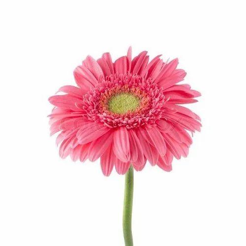 Pink Gerbera Daisy Flower At Rs 4 5 Piece Gerbera Flower Id 20588706288