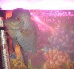 Blue Flowerhorn Fish, Size: 7
