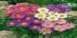 Aster Flowering Plant-Potted, 4-9