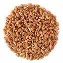 Fresh Wheat Grain, 50 Kg