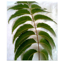Neem Leaves - Wholesaler & Wholesale Dealers in India