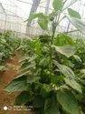 Bachata Capsicum Seeds