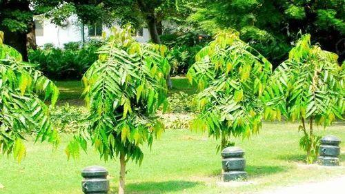 Ashoka Plant, अशोका का पेड़, अशोका ट्री - N ...