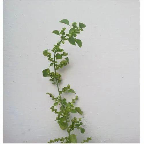 Acalypha Indica Euphorbiaceae Kuppaimeni Plant जड