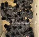 Z Black Kadaknath Chicks