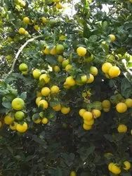 Kagdi Lemon Plants Tissue Cultre