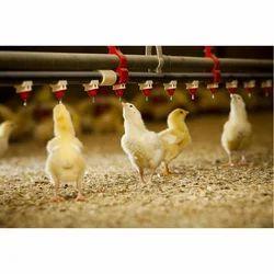 Broiler Chicks, ब्रायलर मुर्गियां - Praveen