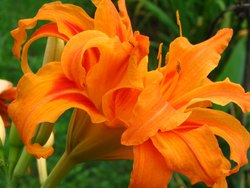 Day Lily Flower Bulbs
