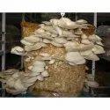 oyster mushroom compost
