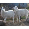 Sheep Fattener Feed
