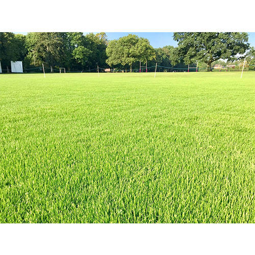 Cricket Ground Natural Grass at Rs 7 /square feet | नेचुरल ...