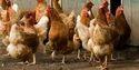 Gramapriya Chicken Chicks