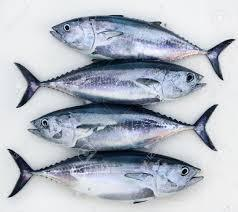 tuna fish ट न फ श ट न मछल veraval fresh fish