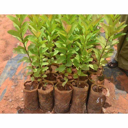 Nursery Guava Plant