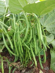 Green Rani F1 Hybrid French Beans