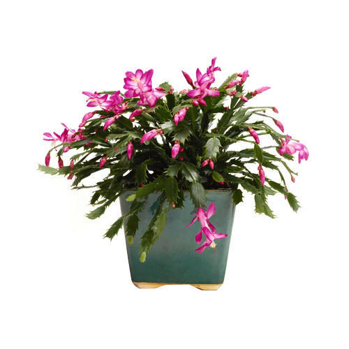 Christmas Cactus.Christmas Cactus Plant