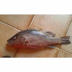 Red Snapper Fish, for Restaurant