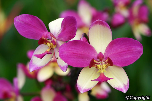 Singapore Orchid At Rs 400 Piece Singapore Orchid Id 18454551888