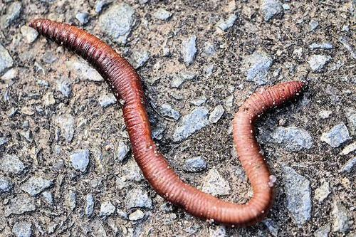 live leech earthworms क च आ pilkha dairy ambikapur id