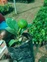 Tissue Culture Lemon Plant