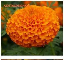 Yellow Zendu Flower Plant