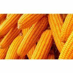Maize Big Seeds