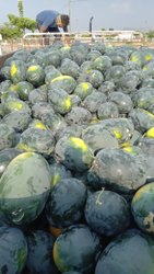 A Grade Watermelon, Packaging Type: Plastic Bag, Packaging Size: 5 Kg