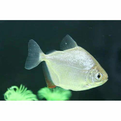 Aquarium Dollar Fish