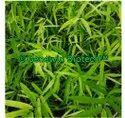 Dendrocalamus Stocksii Bamboo Plant