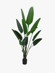 Traveller Palm Tree
