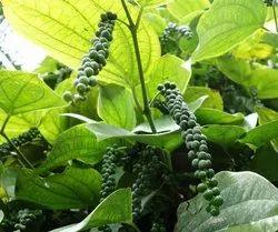 Black Pepper Plant (Kali Mirch)