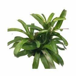 Green Neoregelia Pumilio Indoor Plant