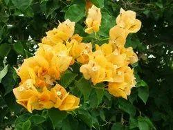 Lady Mary Plant
