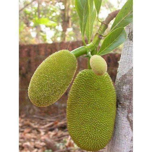 Jackfruit Tree Pictures