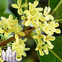 Osmanthus Absolute Oil