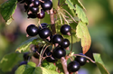 Black Currant P.E. Extract