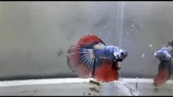 Over Half Moon Betta(Full Moon) Fish, Size: From 2 inch