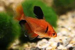 Cherry Barb Fish