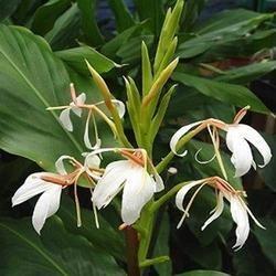 Organic Hedychium Oil