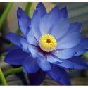 Blue Lotus Absolute Attar