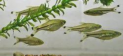 Aquarium Guppy Fish Scissor Tail